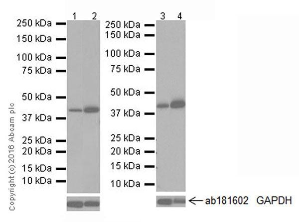 Western blot - Anti-PDK4 antibody [EPR19727-245] (ab214938)