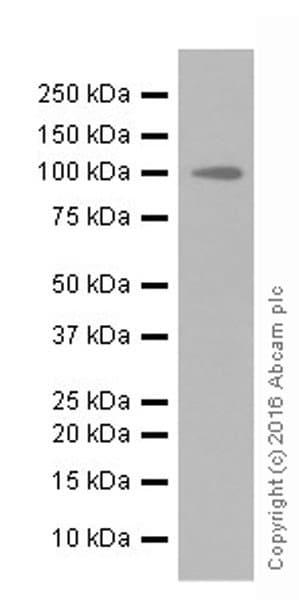 Western blot - Anti-PEG10/EDR antibody [EPR20051] (ab215035)