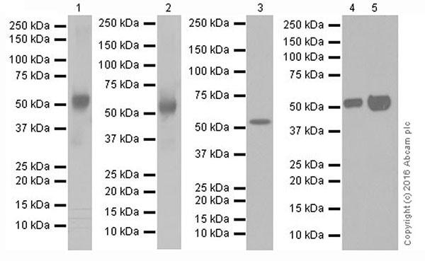 Western blot - Anti-beta III Tubulin antibody [EPR19591] (ab215037)