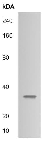 Western blot - Anti-Brorin antibody (ab215057)