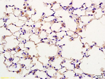 Immunohistochemistry (Formalin/PFA-fixed paraffin-embedded sections) - Anti-F-spondin antibody (ab215165)