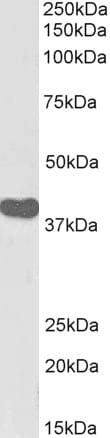 Western blot - Anti-ILF2/NF45 antibody (Biotin) (ab215187)