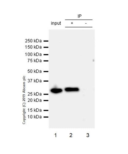 Immunoprecipitation - Anti-C15orf41 antibody [EPR21169-28] (ab215190)