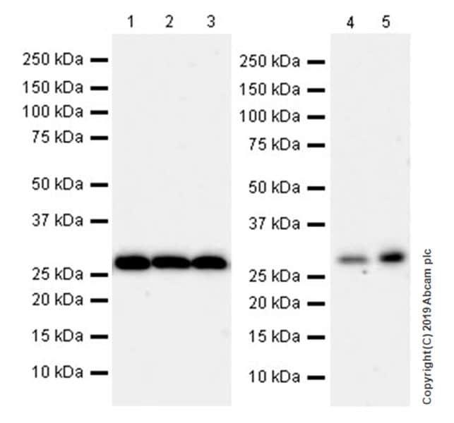 Western blot - Anti-C15orf41 antibody [EPR21169-28] (ab215190)