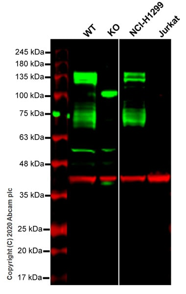 Western blot - Anti-Axl antibody [EPR21107] (ab215205)