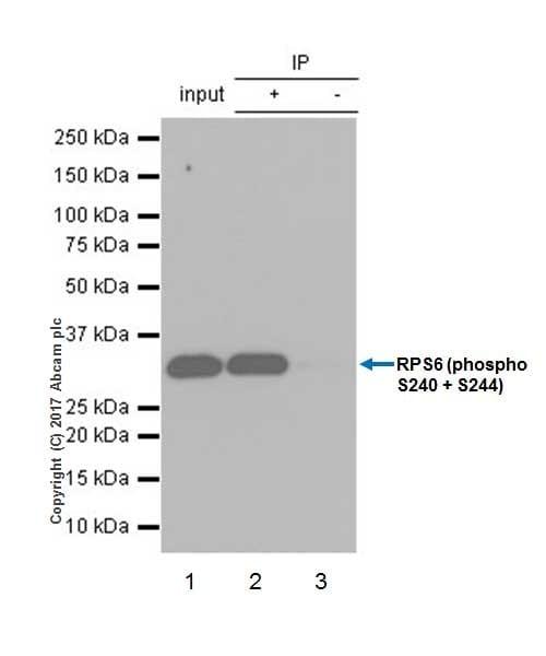 Immunoprecipitation - Anti-RPS6 (phospho S240 + S244) antibody [EPR20770] (ab215214)