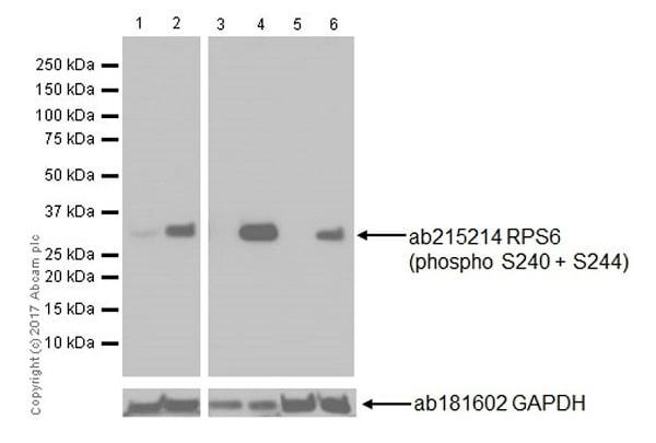 Western blot - Anti-RPS6 (phospho S240 + S244) antibody [EPR20770] (ab215214)