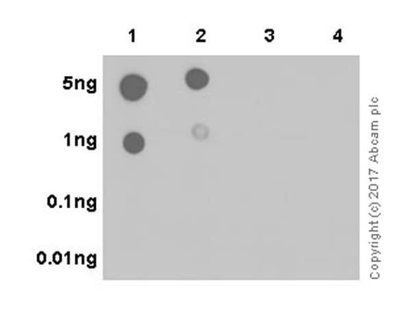 Dot Blot - Anti-RPS6 (phospho S240 + S244) antibody [EPR20770] (ab215214)