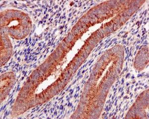 Immunohistochemistry (Formalin/PFA-fixed paraffin-embedded sections) - Anti-Galactosidase alpha antibody [EP5828(2)] - BSA and Azide free (ab215258)
