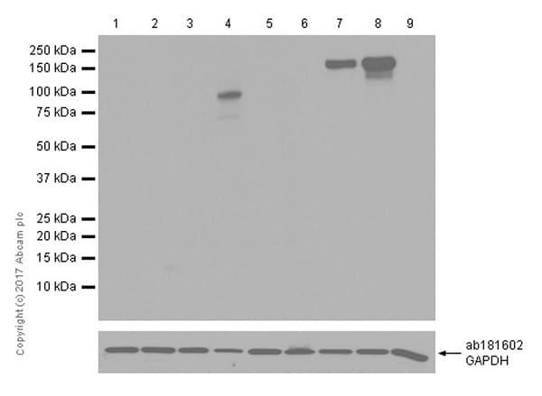 Western blot - Anti-CRISPR-Cas9 antibody [EPR19633] (HRP) (ab215347)