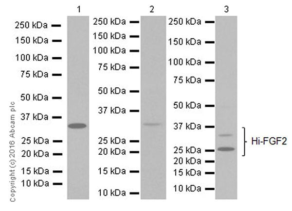 Western blot - Anti-FGF2 antibody [EPR20145-227] (ab215373)