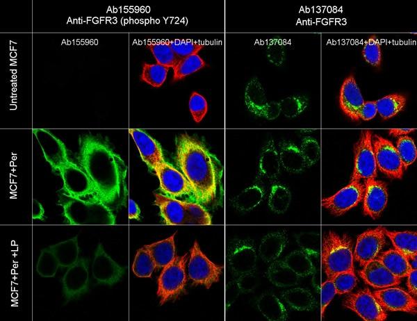 Immunocytochemistry/ Immunofluorescence - Anti-FGFR3 (phospho Y724) antibody [EPR2281(3)] - Low endotoxin, Azide free (ab215385)