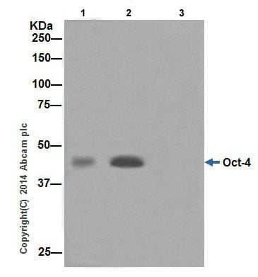 Immunoprecipitation - Anti-Oct4 antibody [EPR17929] - Low endotoxin, Azide free (ab215386)