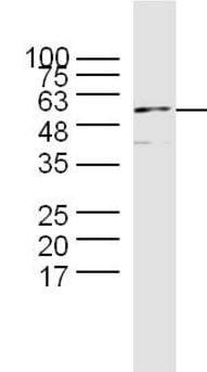 Western blot - Anti-Cyclin B1 antibody (ab215436)