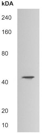 Western blot - Anti-HDAC8 antibody (ab215442)