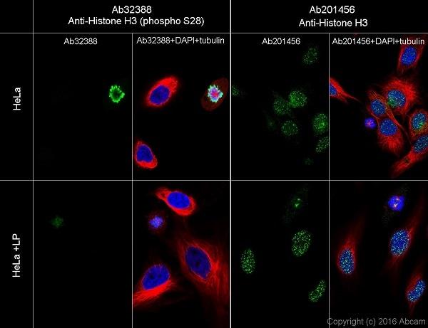Immunocytochemistry/ Immunofluorescence - Anti-Histone H3 (phospho S28) antibody [E191] - BSA and Azide free (ab215532)