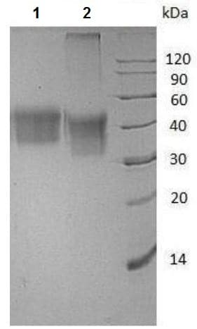 SDS-PAGE - Recombinant Human CD16 (mutated V176 F) protein (His tag) (ab215655)