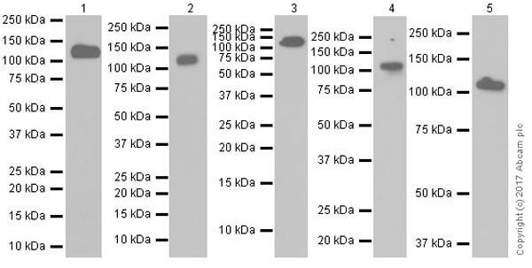 Western blot - Anti-DPP4 antibody [EPR20819] (ab215711)