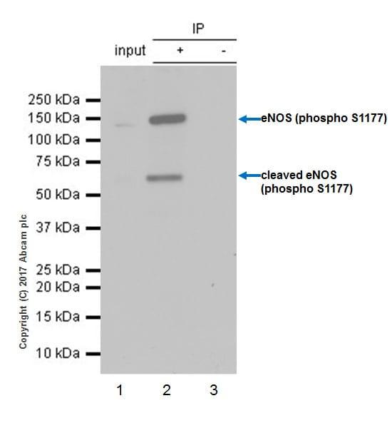 Immunoprecipitation - Anti-eNOS (phospho S1177) antibody [EPR20991] (ab215717)