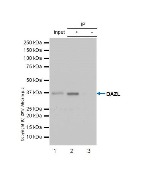 Immunoprecipitation - Anti-DAZL antibody [EPR21028] (ab215718)
