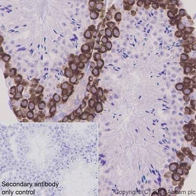 Immunohistochemistry (Formalin/PFA-fixed paraffin-embedded sections) - Anti-DAZL antibody [EPR21028] (ab215718)