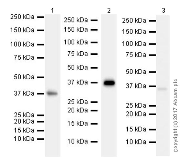 Western blot - Anti-DAZL antibody [EPR21028] (ab215718)
