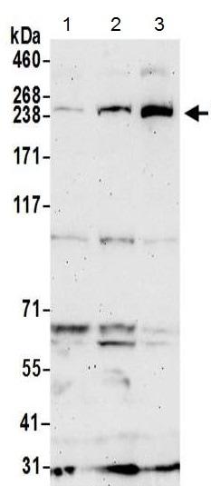 Western blot - Anti-URB1 antibody - C-terminal (ab215723)