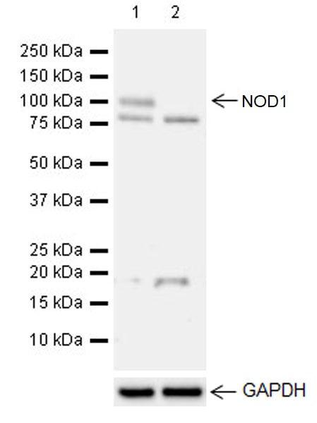 Western blot - Anti-NOD1 antibody [EPR20833] (ab215726)