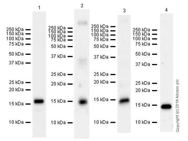 Western blot - Anti-Histone H3 (methyl K37) antibody [EPR20970] (ab215728)