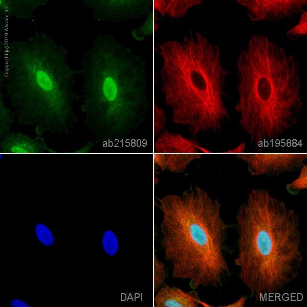 Immunocytochemistry/ Immunofluorescence - Alexa Fluor® 555 Anti-OGT / O-Linked N-Acetylglucosamine Transferase antibody [EPR12713] (ab215809)