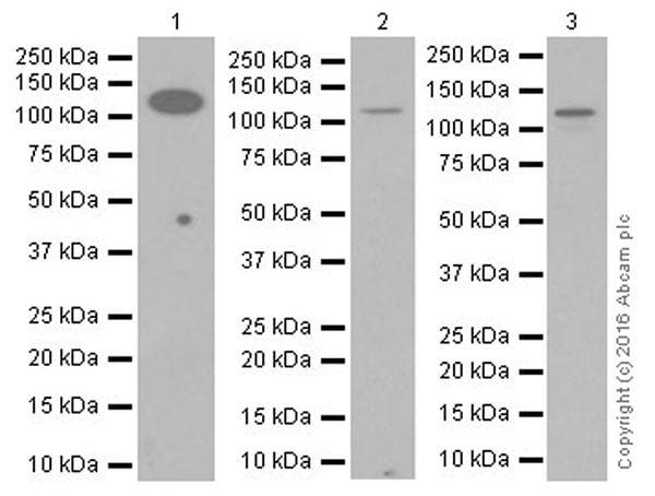 Western blot - Anti-DBC-1 antibody [EPR19747] (ab215852)