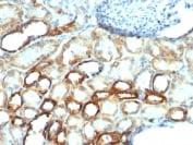 Immunohistochemistry (Formalin/PFA-fixed paraffin-embedded sections) - Anti-Mitochondria antibody [AE-1] (ab215892)