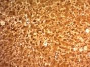 Immunohistochemistry (Formalin/PFA-fixed paraffin-embedded sections) - Anti-Liver Arginase antibody [ARG1/1126] (ab215894)