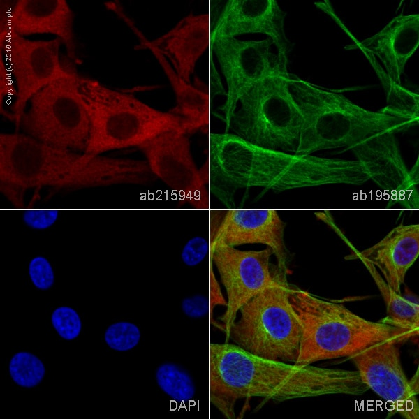 Immunocytochemistry/ Immunofluorescence - Alexa Fluor® 647 Anti-GFPT2 antibody [EPR19095] (ab215949)