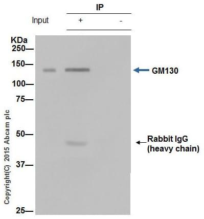 Immunoprecipitation - Anti-GM130 antibody [EP892Y] - BSA and Azide free (ab215966)