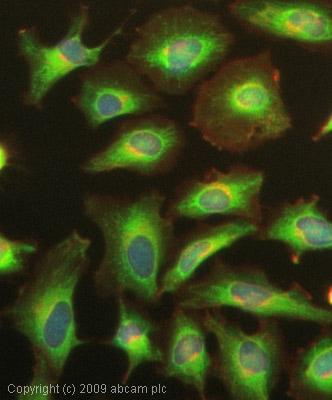 Immunocytochemistry/ Immunofluorescence - Anti-IKB alpha antibody [E130] - BSA and Azide free (ab215972)