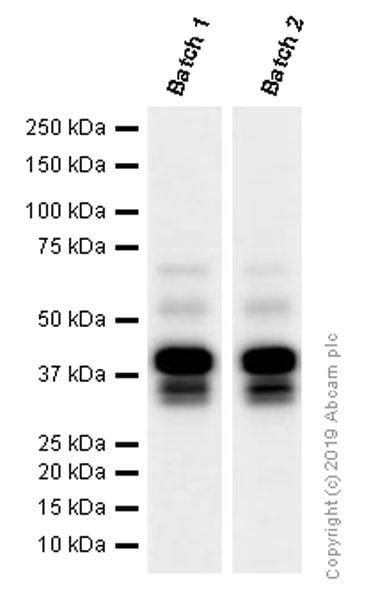 Western blot - Anti-LEF1 antibody [EPR2029Y] - BSA and Azide free (ab215999)