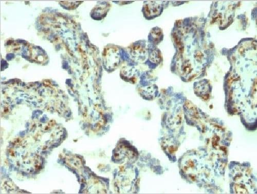 Immunohistochemistry (Formalin/PFA-fixed paraffin-embedded sections) - Anti-Moesin antibody [MSN/492] (ab216033)