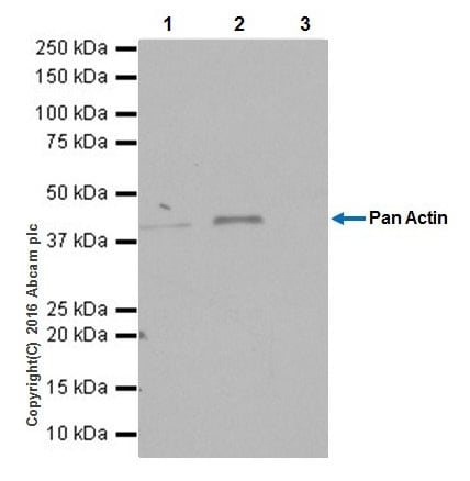 Immunoprecipitation - Anti-Actin antibody [EPR19353-16] (ab216070)