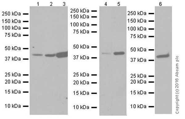 Western blot - Anti-Actin antibody [EPR19353-16] (ab216070)
