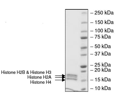 SDS-PAGE - Recombinant Human Histone Octamer protein (ab216184)