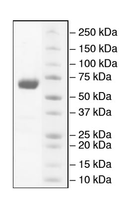 SDS-PAGE - Recombinant mouse PD-L1 protein (Fc Chimera) (ab216192)