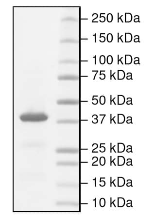 SDS-PAGE - Recombinant human Indoleamine 2, 3-dioxygenase protein (Active) (ab216193)