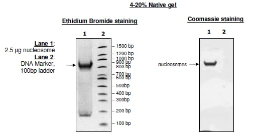 SDS-PAGE - Recombinant Human Nucleosome protein (Biotin) (ab216216)