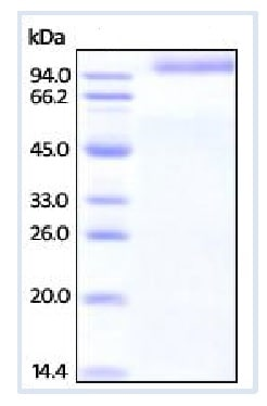 SDS-PAGE - Recombinant Human LILRA3 protein (Fc Chimera) (ab216223)