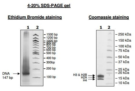 SDS-PAGE - Recombinant Human Nucleosome protein (His tag) (ab216245)