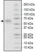SDS-PAGE - Recombinant human Poliovirus Receptor/PVR protein (His tag) (ab216250)