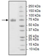 SDS-PAGE - Recombinant Mouse PD-L1 protein (Fc Chimera) (Biotin) (ab216261)