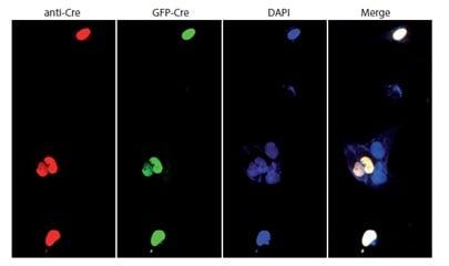 Immunocytochemistry/ Immunofluorescence - Anti-Cre recombinase antibody (ab216262)