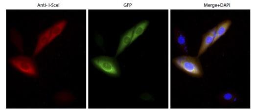 Immunocytochemistry/ Immunofluorescence - Anti-Intron-encoded endonuclease I-SceI  antibody (ab216263)